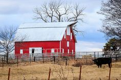 red barn and cow