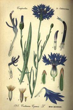 FLOWER ANNUAL * BACHELOR'S BUTTON BLUE BOY * HEIRLOOM SEEDS 2012