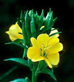 evening primrose.... mesmerizing to watch
