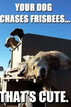 Hunters don't give a shit if they dog get hurted or die hunting. They enjoy looking. They enjoy the violence. And then, cowardly, they glorifies themselves for their dogs killing.