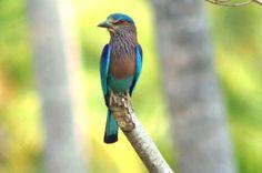 Indian Roller Indian Roller, Birds, Vanity, Animals, Dressing Tables, Powder Room, Animales, Animaux, Bird