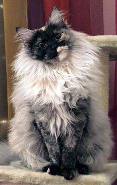 Turkish-Angora-Cat-Pictures32.jpg (648×1024)