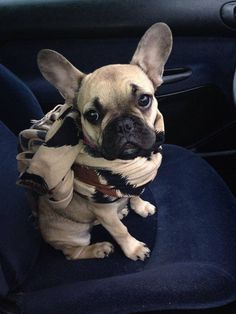Bundled Up, French Bulldog Puppy