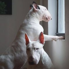 Neighborhood Watch, English Bull, Bull Terriers, Free Stickers, Goats, 3d, Animals, Animales, Animaux