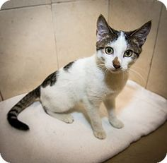 French Toast is a playful kitten up for adoption at the Humane Society of New York.
