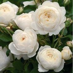 David Austin | Climbing Roses, Claire Austin*