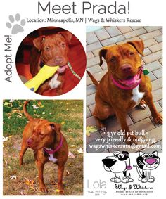 Meet Prada! I see no reason why this sweet girl shouldn't be in her 'fur-ever' home already. She's been in rescue since late 2011 :(. Note: Our Adoptable Dog of the Week post is dedicated to special dogs who are in rescue but still looking for their perfect home. Please consider sharing. More about Prada: http://www.lolathepitty.com/prada-adoptable-dog-of-the-week/