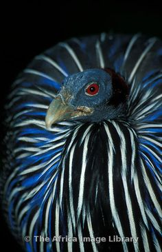 The Vulturine Guineafowl is the largest extant guineafowl species. It is a resident in northeast Africa