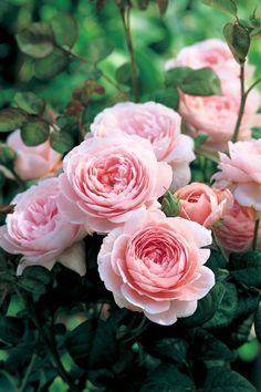 'Queen of Sweden'   David Austin English Rose