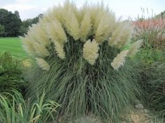 1000 images about ornamental grasses on pinterest for Ornamental grasses with plumes