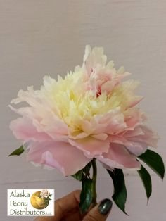 One more angle to view this gorgeous sorbet peony!