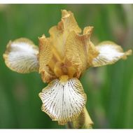 Aitken's Salmon Creek Garden / MTB Iris 'in my veins'