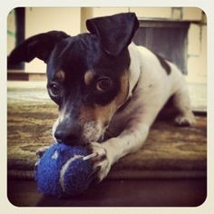 I dare you to take this ball away. Tips to help you take even cuter pictures of your pet. Rat Terrier Dogs, Toy Fox Terriers, Miniature Fox Terrier, Cute Puppies, Cute Dogs, Cute Dog Photos, Jack Russell Terrier, I Love Dogs, Your Pet