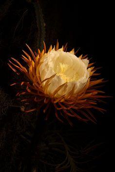 Queen of the night: Night Blooming Cereus