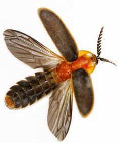 Tis the season  Lampyridae is a family of insects in the beetle     Image result for firefly totem