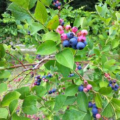 Vibrant colors of ripening blueberries