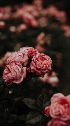29 Romantic Roses iPhone X Wallpapers Floral Roses iPhone Wallpaper by Preppy Wallpapers Beautiful Rose Flowers Images, Beautiful Flowers, Exotic Flowers, Wallpaper Flower, Nature Wallpaper, Rose Pink Wallpaper, Floral Wallpaper Phone, Live Wallpaper Iphone, Wallpaper Backgrounds