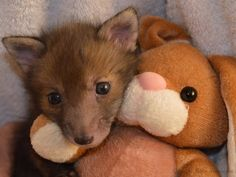 White Wolf : Rescued Baby Fox Needs To Cuddle With Its Plush Bunny Toy