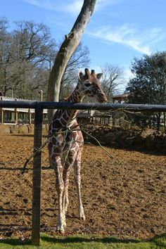 Whipsnade Zoo near London - a great family day out and a chance to get close to giraffes, lions, zebras and more.