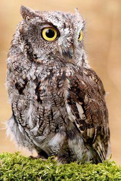 Western Screech-Owl Otus Kennicottii - Falconer Elisa Elizabeth Livoni  The name…
