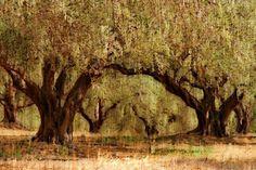 """the arch"" von Bernd Hoyen #fotografie #photography #fotokunst #photoart #digitalart #kunst #art #abstrakt #abstract #baum #bäume #tree #trees #braun #brown #natur #nature #landschaft #landschaften #landscape #landscapes #griechenland #greece #kreta #crete"
