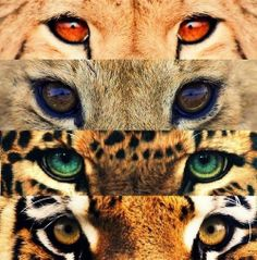 Cool eye variations among big cats!