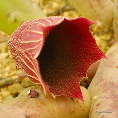 Huernia keniensis flower from Kenya, Africa