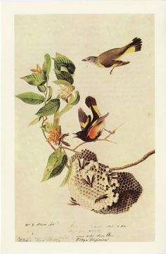 Vintage Bird Print American Redstart Vintage Audubon Print C. 1960