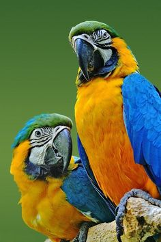 Blue and Yellow Macaws by cathy