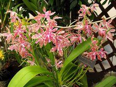 phalaenopsis lueddemanniana | Orhideja - Vrsta: Phalaenopsis hieroglyphica