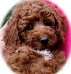 TEGANS AUSTRALIAN COBBERDOGS - The True Authentic Australian Labradoodle now recognised as a Pure Breed Australian Cobber Dog