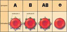 La transfusion sanguine entre  les Hommes  A°) Histoire de la transfusion sanguine :  Suite à l'échec d'une transfusion entre un agneau et un homme au XVIIème siècle, les scientifiques de l'époque ont réalisé beaucoup de recherches afin de réussir leurs prochaines transfusions.  Jusqu'en 1900, les transfusions sanguines d'homme à homme ne prenaient en compte ni les groupes sanguins ni le rhésus. La découverte des groupes sanguins est due à Karl Landsteiner. Lors de ses premières…