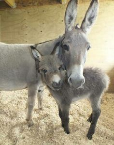 ☆😘😘What a sweet pic . Mama and baby donkey. Cute Baby Animals, Farm Animals, Animals And Pets, Funny Animals, Wild Animals, Baby Donkey, Cute Donkey, Mini Donkey, Baby Cows