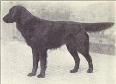 Flat-Coated Retriever, 1915