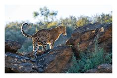 Leopard hit by the sunset sun in Namibia, July 2008 by Ignacio Palacios on 500px