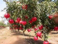 pomegranate tree | Pomegranate - Punica granatum Cultivation and Farming