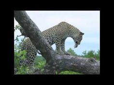 Leopard Snack!