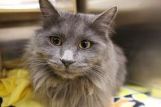 Madam Meow has been adopted from Petsmart in North Seattle, a Seattle Humane satellite location. http://www.seattlehumane.org/adopt/pets/cats