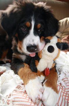 Berner Baby ~ LOVE HER!!