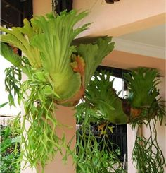 Great information on how to plant and care for your Staghorn!