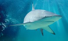 The blacktip sharks Acquario di Livorno