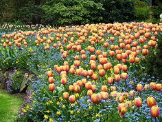 Orange Tulips by Unskinny Boppy, via Flickr. Tulips with smaller flowers beneath