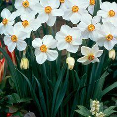 Narcissi Actaea Apr-May Daffodils, Tulips, Fiery Red, Yellow Eyes, Allium, Cut Flowers, Fall Season, Seasons, Garden