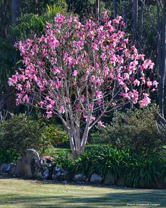 Flowering Trees Deciduous Growing Tree Secret Gardens Star Wars Stars House Magnolias Shrubs