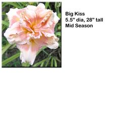 Big Kiss daylily $7.50/double fan Smithdaylilies.com