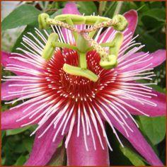 Passiflora Anastasia