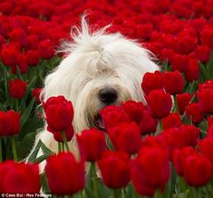"""""""Flower girl: One of the sheepdogs in a classic Dutch scene, poking its shaggy head out of a field of tulips."""""""