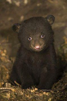 Filhote de urso negro