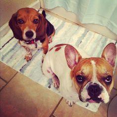 my kids #frenchbulldog & #beagle