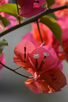☀Bougainvilla glows in the morning sunlight  by jungle mama*